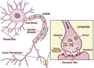 synapse diagram