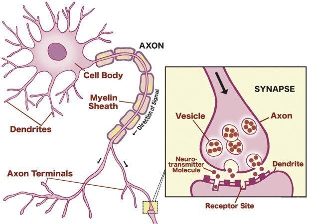 Ch1 fg2 communication between neurons three key years ch1 fg2 communication between neurons synapse diagram ccuart Choice Image